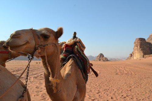 Kameel Wadi Rum