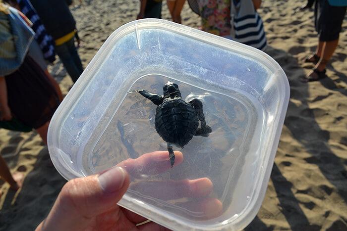 Bali bezienswaardigheden: schildpadden vrijlaten