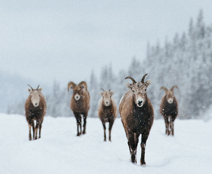 Jasper National Park Wildlife