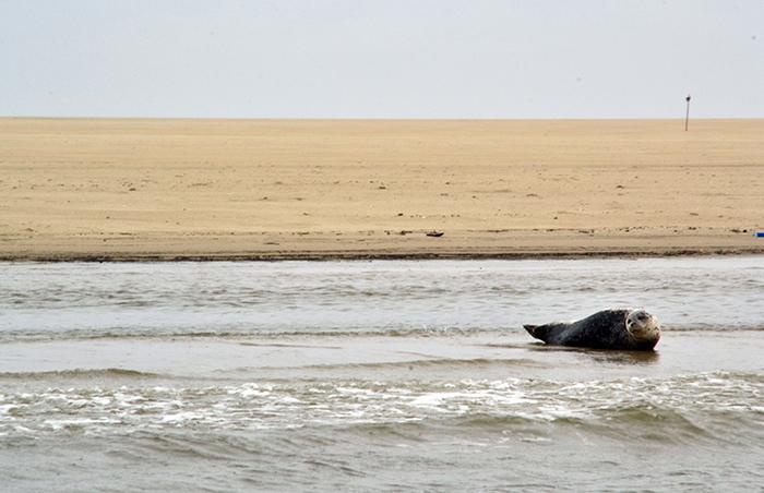 Zeehonden spotten op Texel