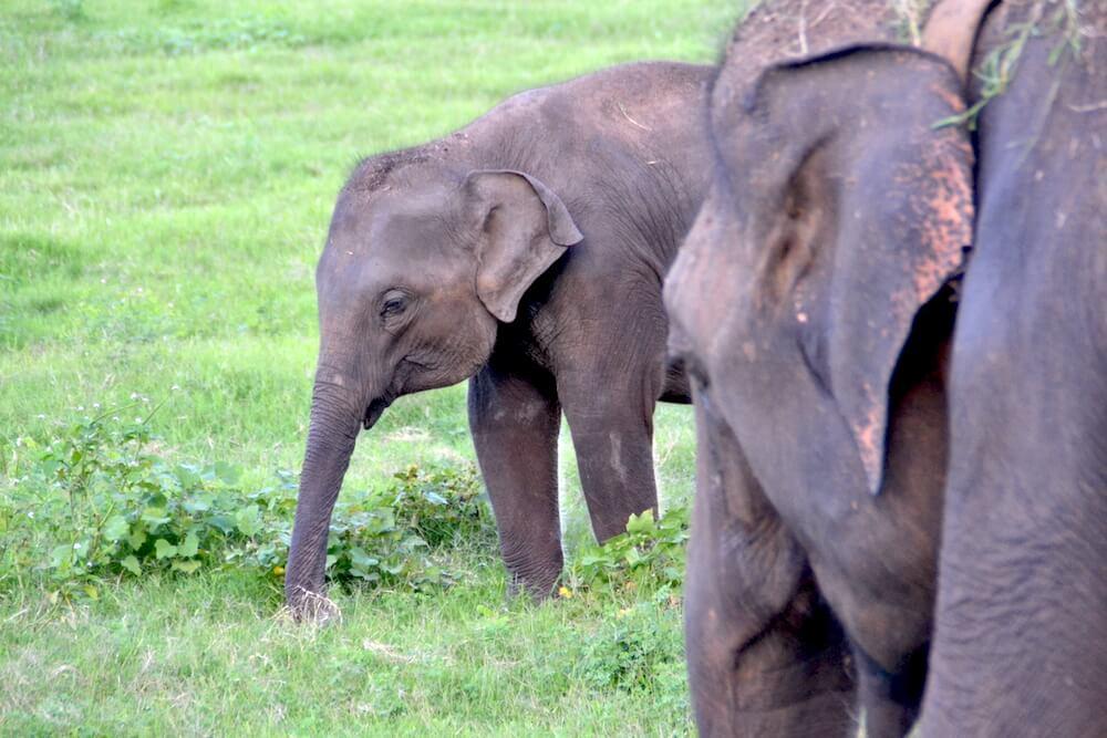 Wat te doen in Sri Lanka: Kaudulla National Park