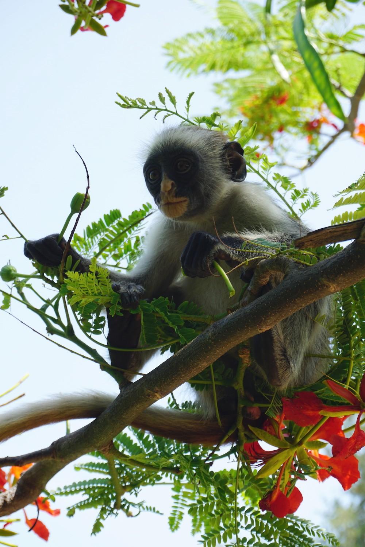 Wat te doen in Zanzibar: rode Colobus aap